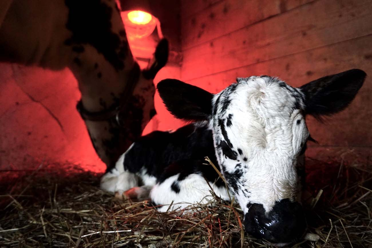 Newborn calf and its mother. Old norwegian heritage cattle breed.