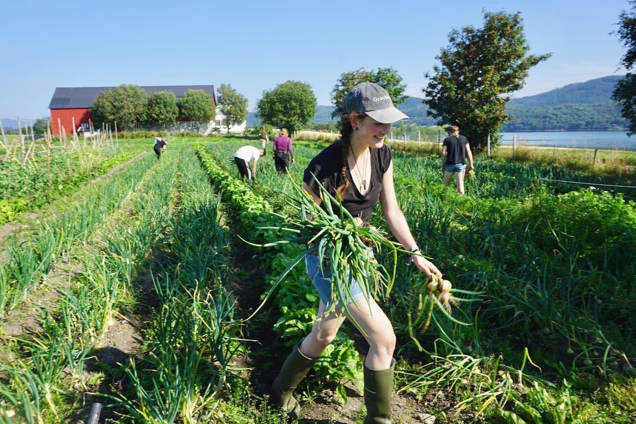 Jente i shorts og støvler høster løk i en grønnsaksåker.