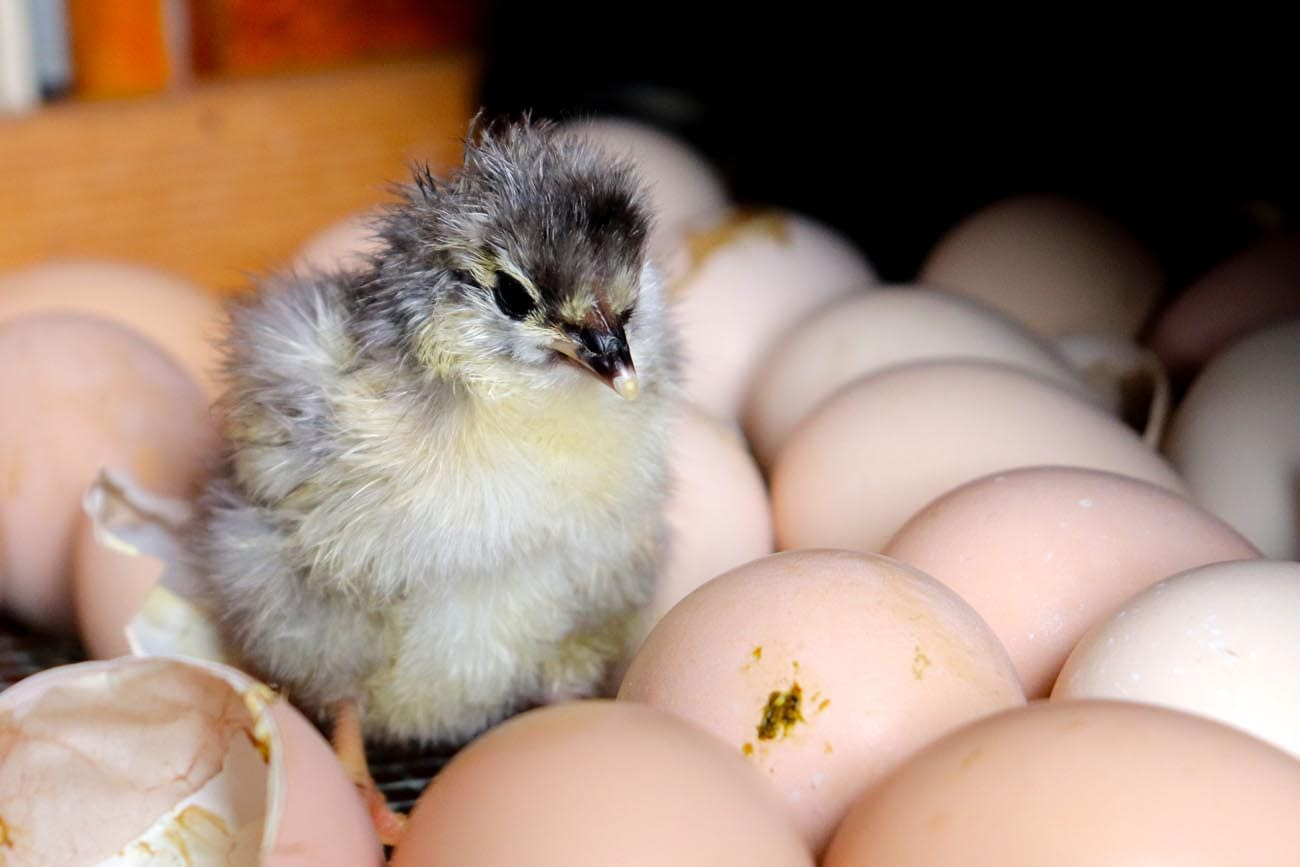 Newly hatched chicken surrounded by eggs.